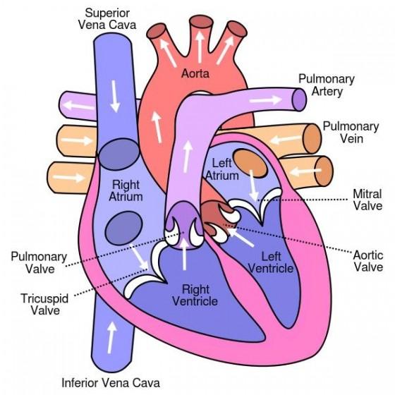 Det normale hjertet